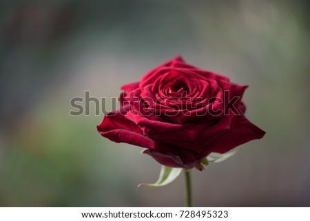 Rose Red Naomi  #728495323