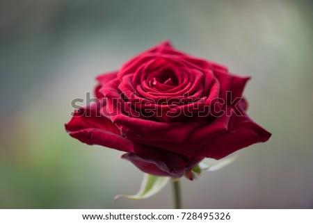 Rose Red Naomi  #728495326