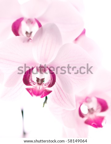 rose red orchid, white background - stock photo