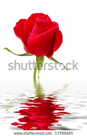 rose reflection in water