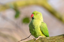 Rose-ringed parakeet, Psittacula krameri, also known as the ring-necked parakeet wakes up in the morning and sticks his head out of a hole in a tree.