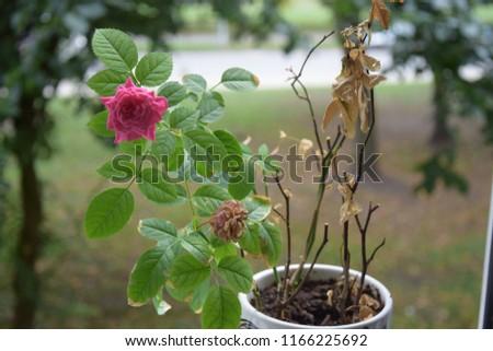 Rose rose rose #1166225692