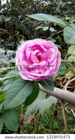 Rose, rose, rose #1258931473
