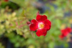 Rose Rouge Meillandecor Meineble - Latin name - Rosa Rouge Meillandecor Meineble