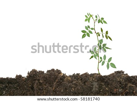 seedling clip art. stock photo : rose seedling