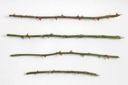 Rose stalks for making seedlings for planting