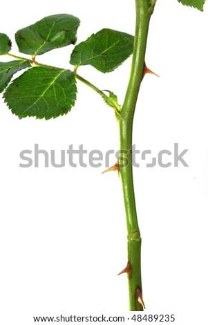 Rose thorn against white