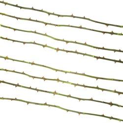 rose thorny stalks isolated on white