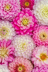 Rose white Dahlia flowers with rain drops, top view wallpaper background. Beautiful dahlia flowers wallpaper print, holiday card