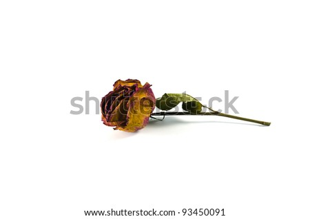 Rose wilts on white background
