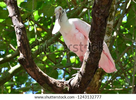 Roseate spoonbill ,a gregarious wading bird of the ibis and spoonbill family. #1243132777