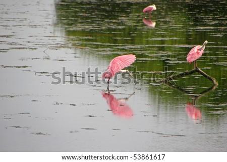 Roseate Spoonbill Ding Darling Sanibel Island Florida