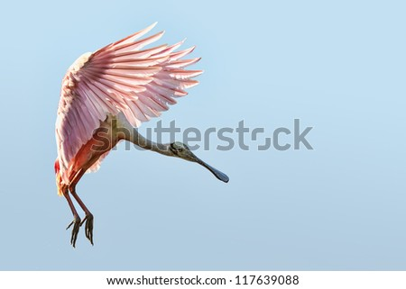 roseate spoonbill flaring for landing in florida everglades