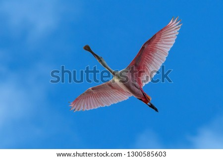 Stock Photo Roseate Spoonbill Flying Overhead