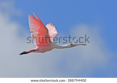 Stock Photo Roseate spoonbill in flight at eye level. Latin name - Ajaia ajaia, Platalea ajaja.
