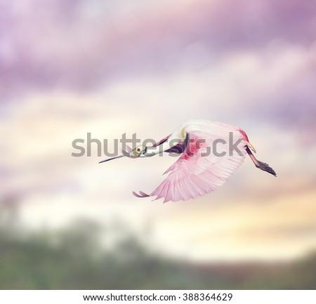 Stock Photo Roseate Spoonbill (Platalea ajaja) in Flight