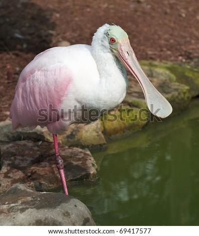 Roseate Spoonbill (Platalea ajaja or Ajaia ajaja) standing on one leg by a pond. #69417577