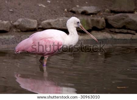 Roseate Spoonbill (Platalea ajaja) standing in the water, looking for fish