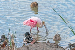 Roseate Spoonbill Searching for Food in the Port Aransas Birding Center