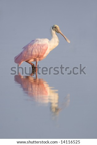 Roseate Spoonbill standing in water with it's reflection