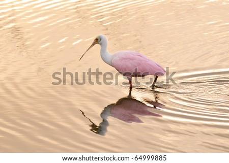 roseate spoonbill wades in florida wetland at dawn