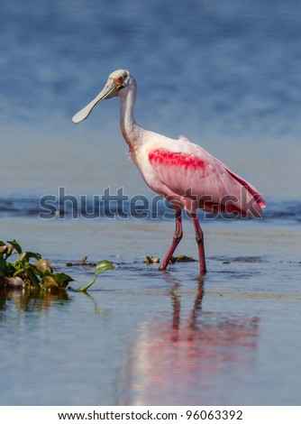 Roseate Spoonbill wading in Myakka River - stock photo