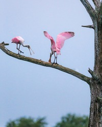 Roseate Spoonbills perched on a tree in South Florida at a nature preserve / wildlife refuge