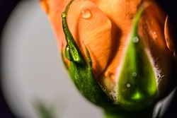 rosebud from closeup, dew on a bud, macro photo about a rose bud