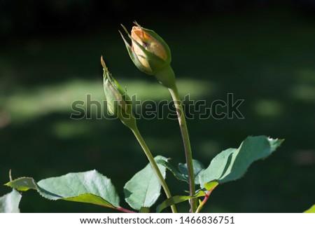 Rosebud on green background. Rosebud in the garden  #1466836751