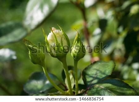 Rosebud on green background. Rosebud in the garden  #1466836754