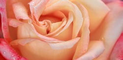 Rosebud with pink petals .Background opened rose bud.