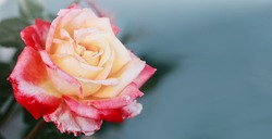 Rosebud with pink petals isolated on gray background.