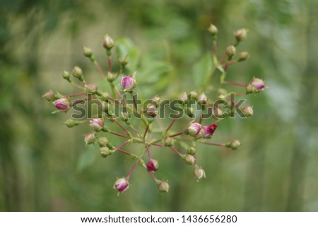 Rosebuds in the garden. Rosebuds background. Rosebuds close-up. #1436656280