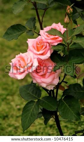 Rosebush, flower garden