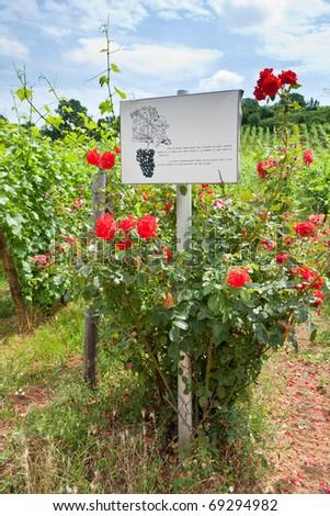 rosebush near vine beds in Alsace, France