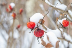 Rosehip berries in winter on the bush are covered with snow.