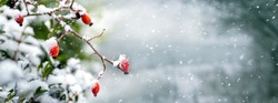 Rosehip bush with red berries in the forest on a blurred background during a snowfall, panorama. Selective focus