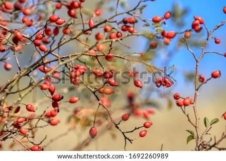 Rosehip fruit for herbal treatment, ripe rosehip fruit Stock photo ©