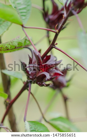 Roselle is a species of Hibiscus mostly being seen at africa but also has been spread to other country. In Malaysia it iconis being use for making a jam amongst people with sweet and sour taste
