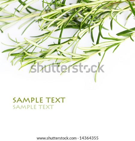 rosemary against white background