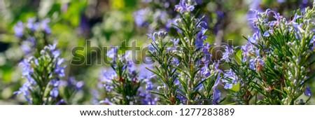 Rosemary Blossoming Bush in the garden. Rosmarinus officinalis, Lamiaceae, Severn Sea, banner #1277283889
