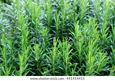 Rosemary herb garden Stock photo ©