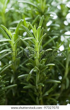 rosemary herb growing