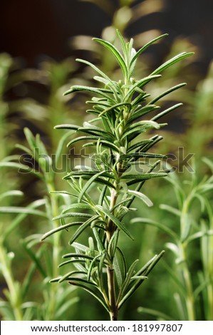 Rosemary herb growing. Selective focus.