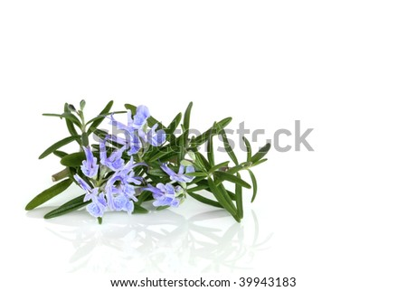 Rosemary herb leaf in flower  over white background.