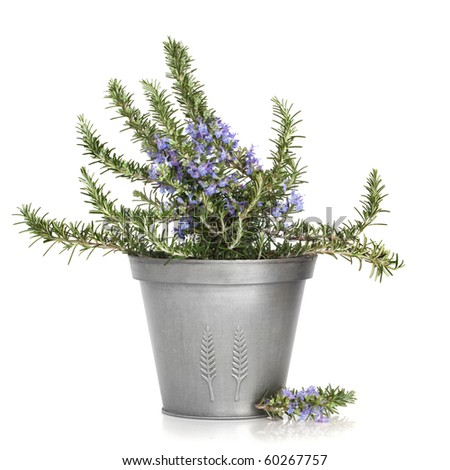 Rosemary herb plant in flower in a distressed aluminum pot, isolated over white background.