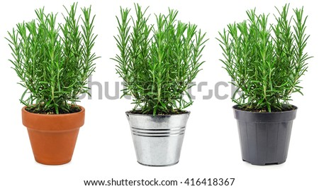 Rosemary in three different pots isolated on white background #416418367