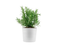 Rosemary in white clay pot, isolated. High quality photo