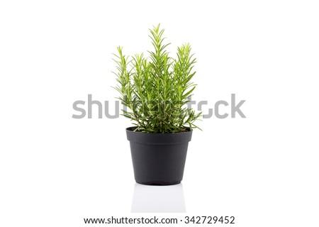 rosemary inside a black pot on white background, rosmarinus officinalis Stock photo ©