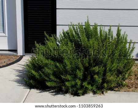 Rosemary or rosemary plant also known as rosmarinus officinalis  #1103859263